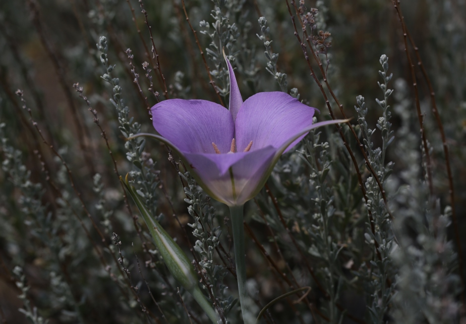 Calochortus macrocarpum 03