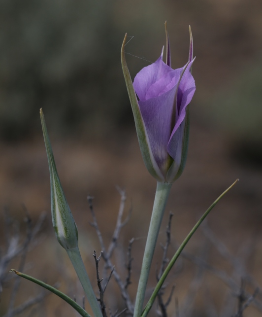 Calochortus macrocarpum 04