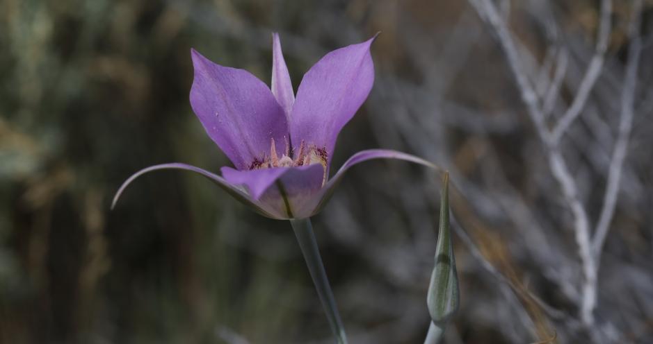 Calochortus macrocarpum 05