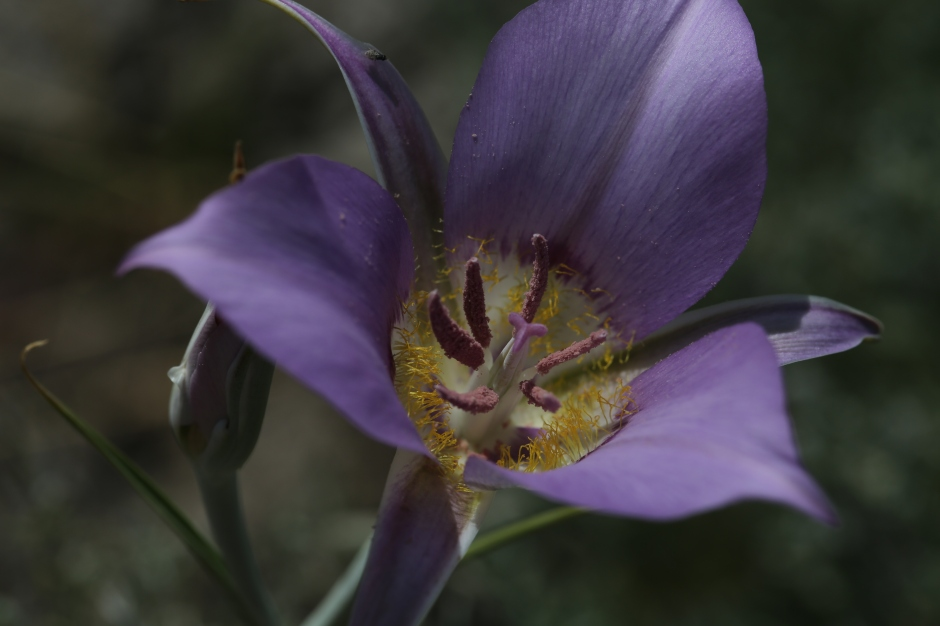 Calochortus macrocarpum 07