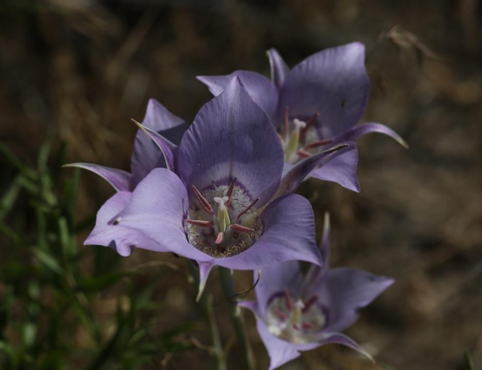 Calochortus macrocarpum 10