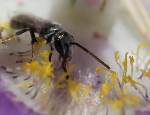 calochortus macrocarpum 50