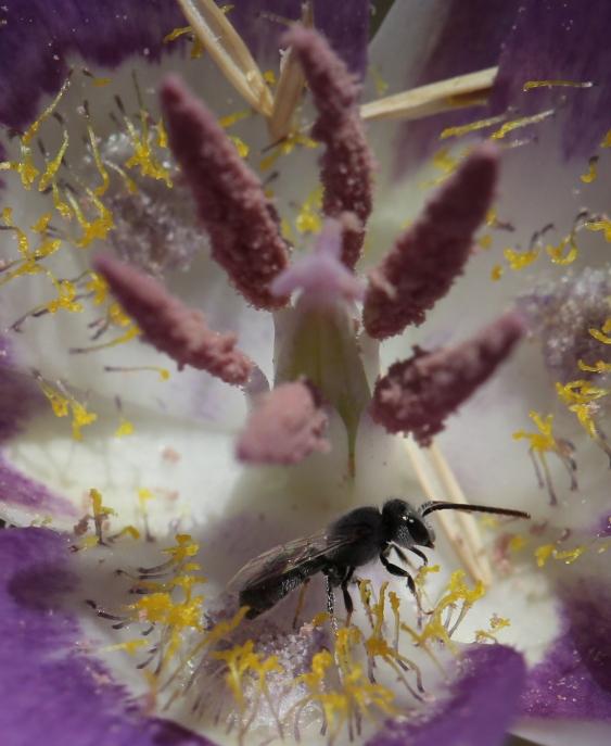 calochortus macrocarpum 52
