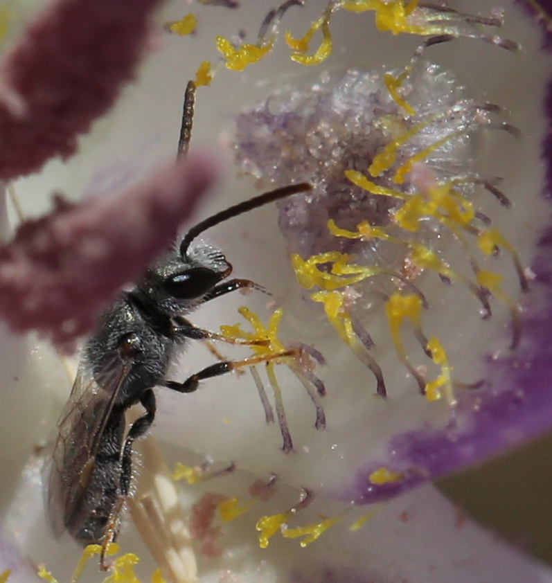 calochortus macrocarpum 53