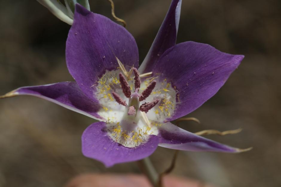 calochortus macrocarpum 56