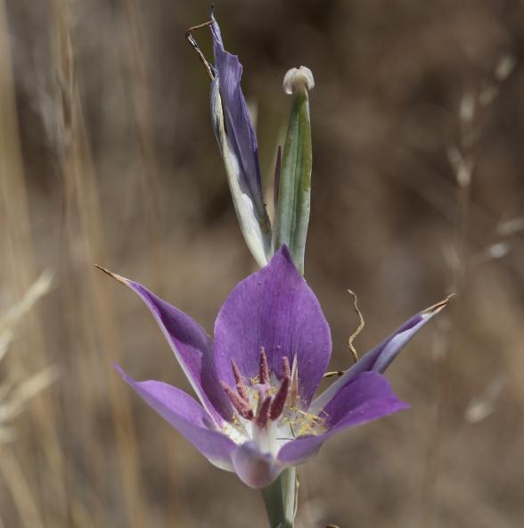 calochortus macrocarpum 57