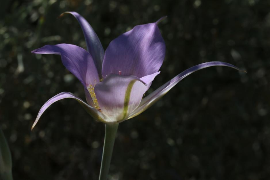 Calochortus macrocarpus 02