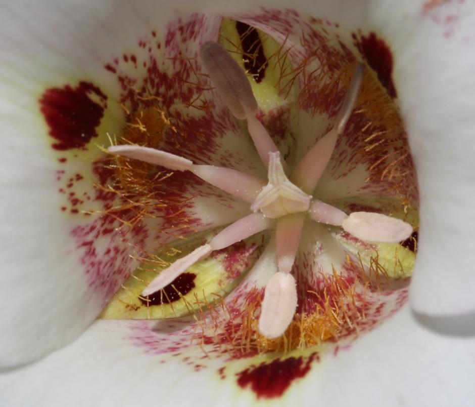 Calochortus venustus 01
