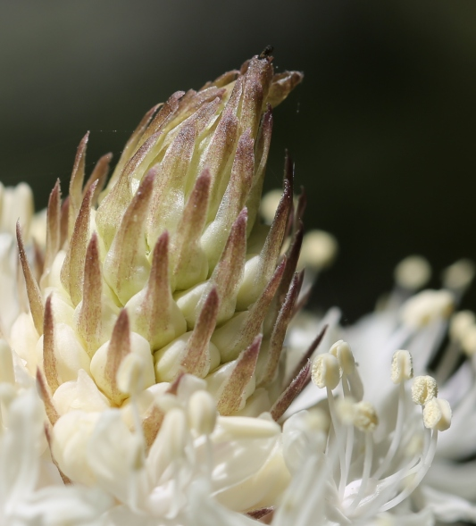 Xerophyllum tenax 03
