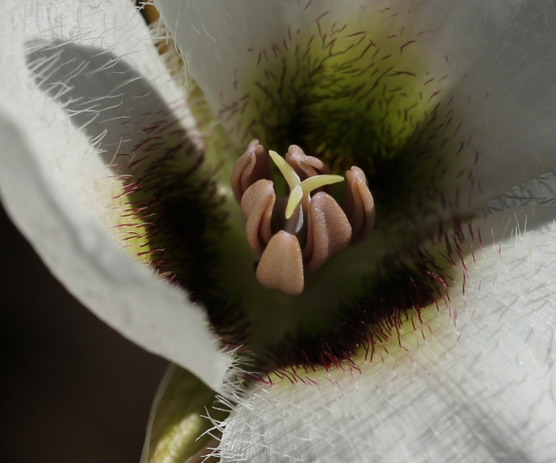 Calochortus howellii 01
