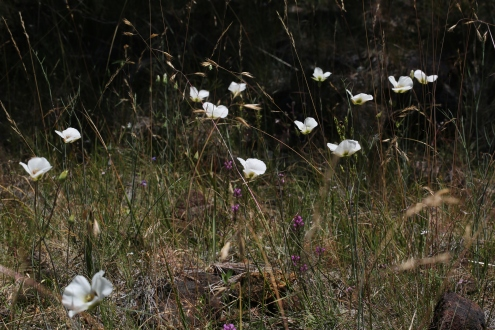 Calochortus howellii 03
