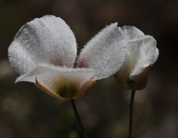 Calochortus howellii 04