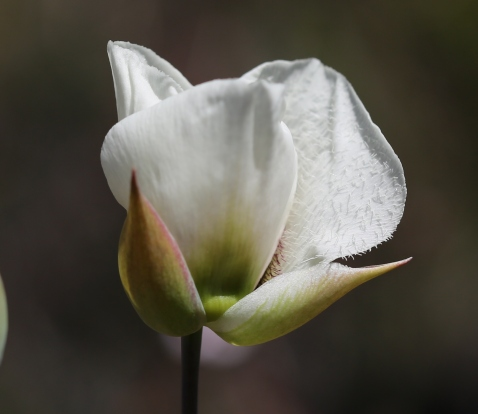 Calochortus howellii 06