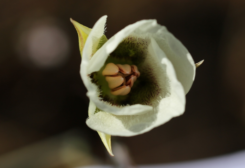Calochortus howellii 12