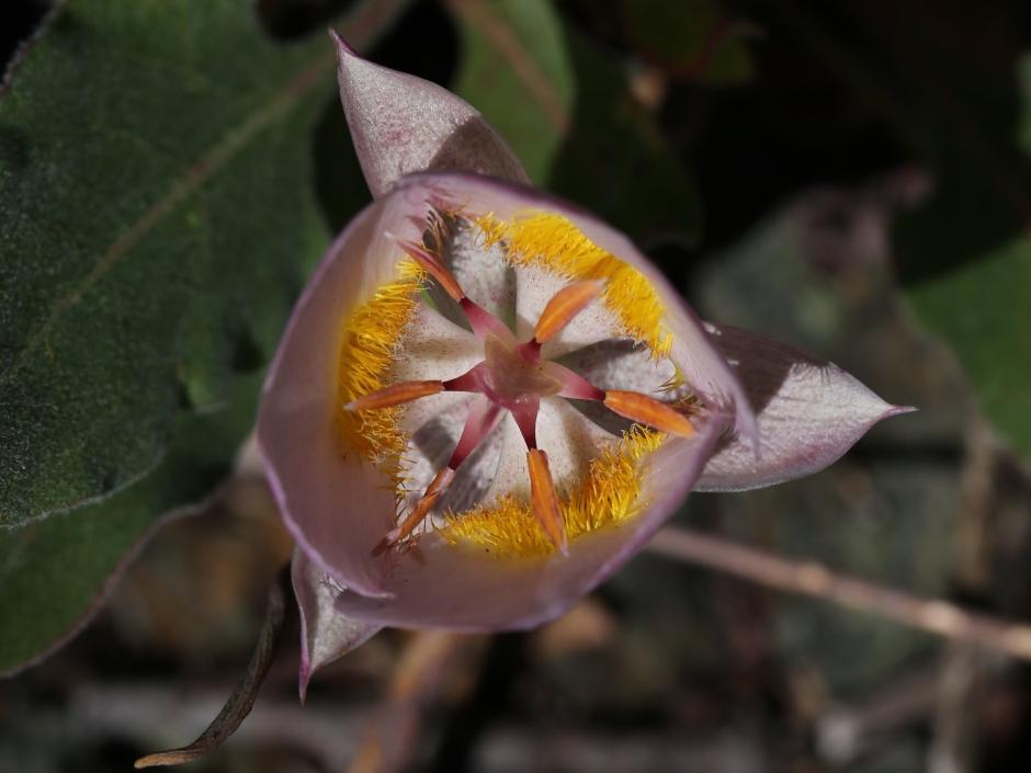 calochortus persistens 09