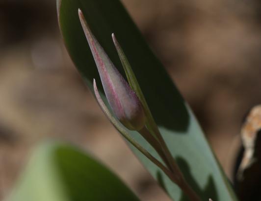 calochortus persistens 20