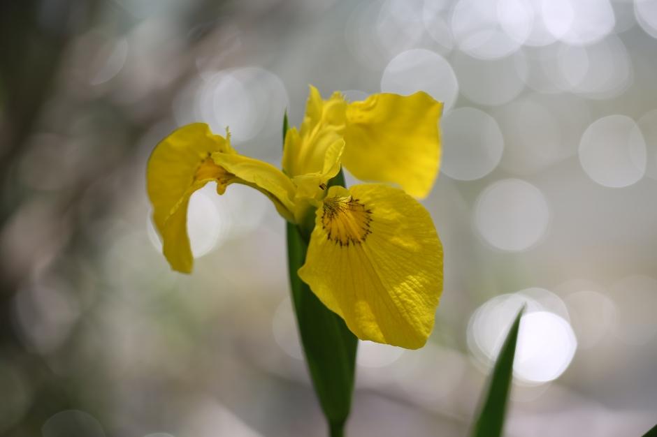 Iris pseudoacorus 01