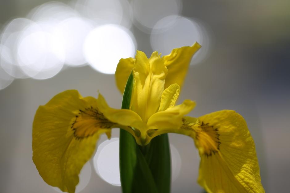 Iris pseudoacorus 02