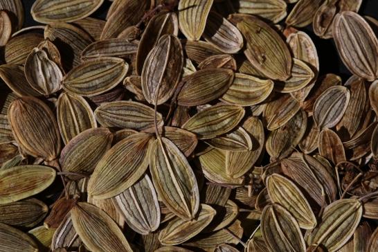 Lomatium californicum 20
