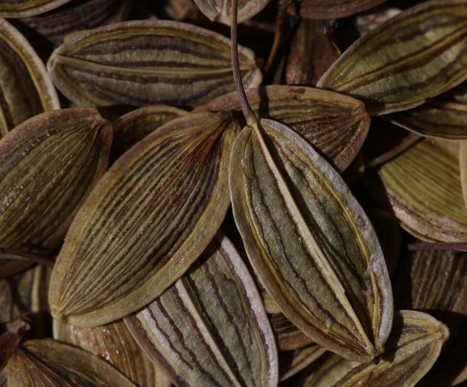 Lomatium californicum 21
