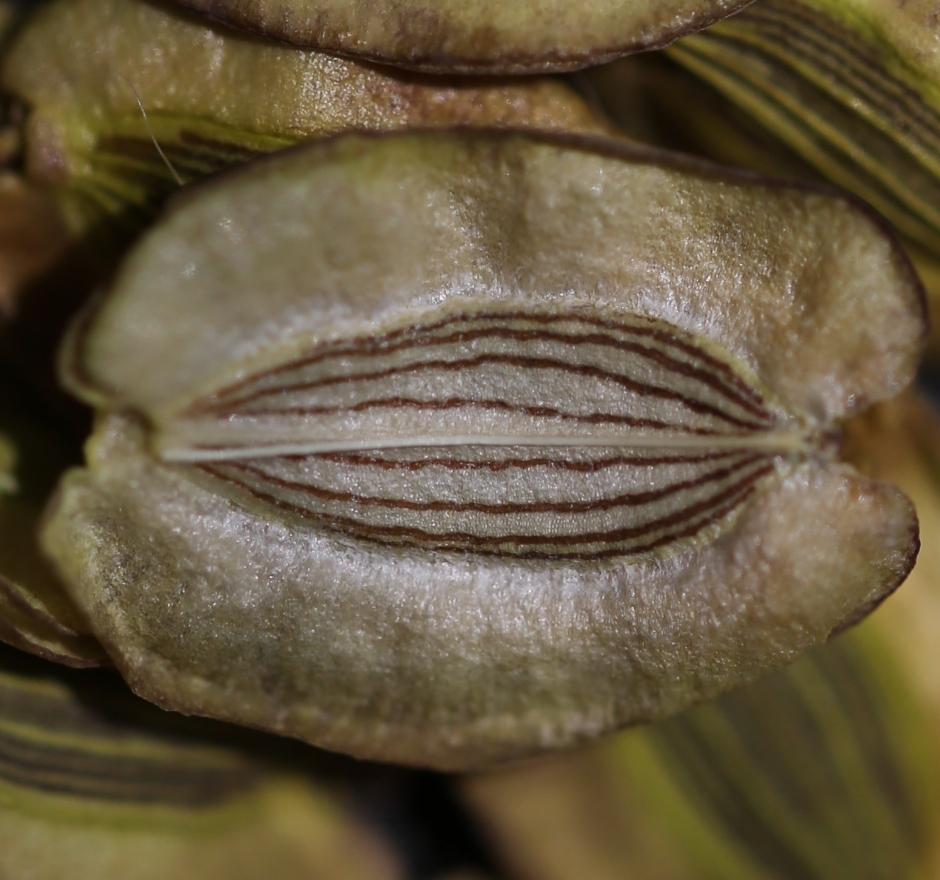 Lomatium howellii 000