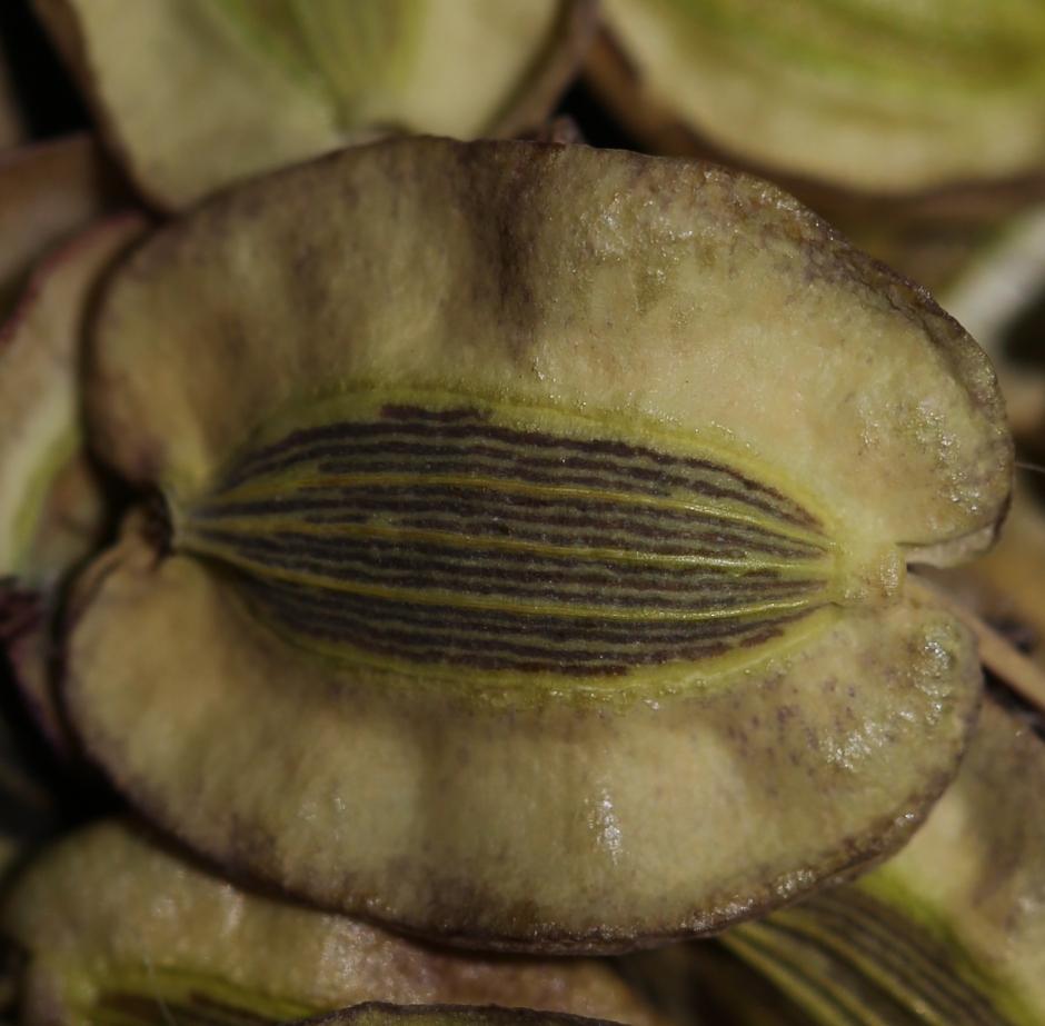 Lomatium howellii 001