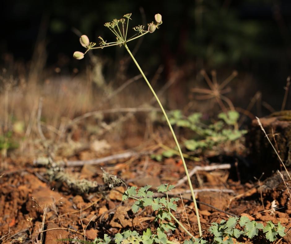 Lomatium howellii 04