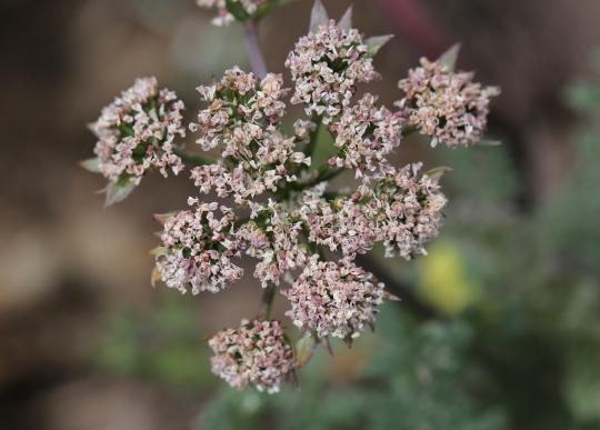 Lomatium macrocarpum 0003