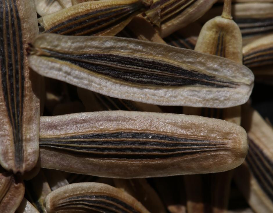 Lomatium macrocarpum 01