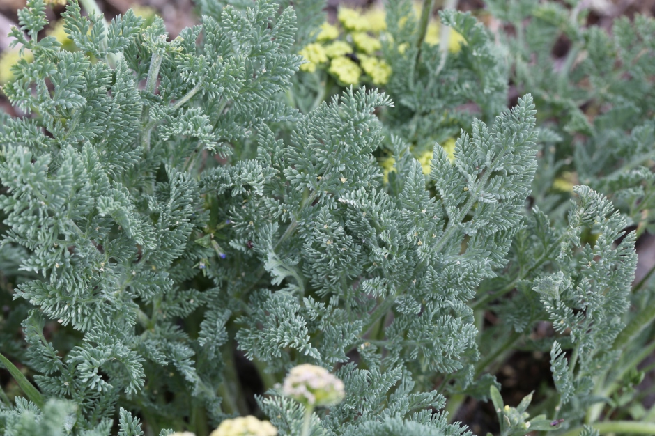 Lomatium macrocarpum 02