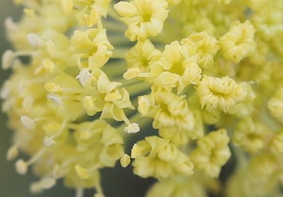 Lomatium nudicaule 50
