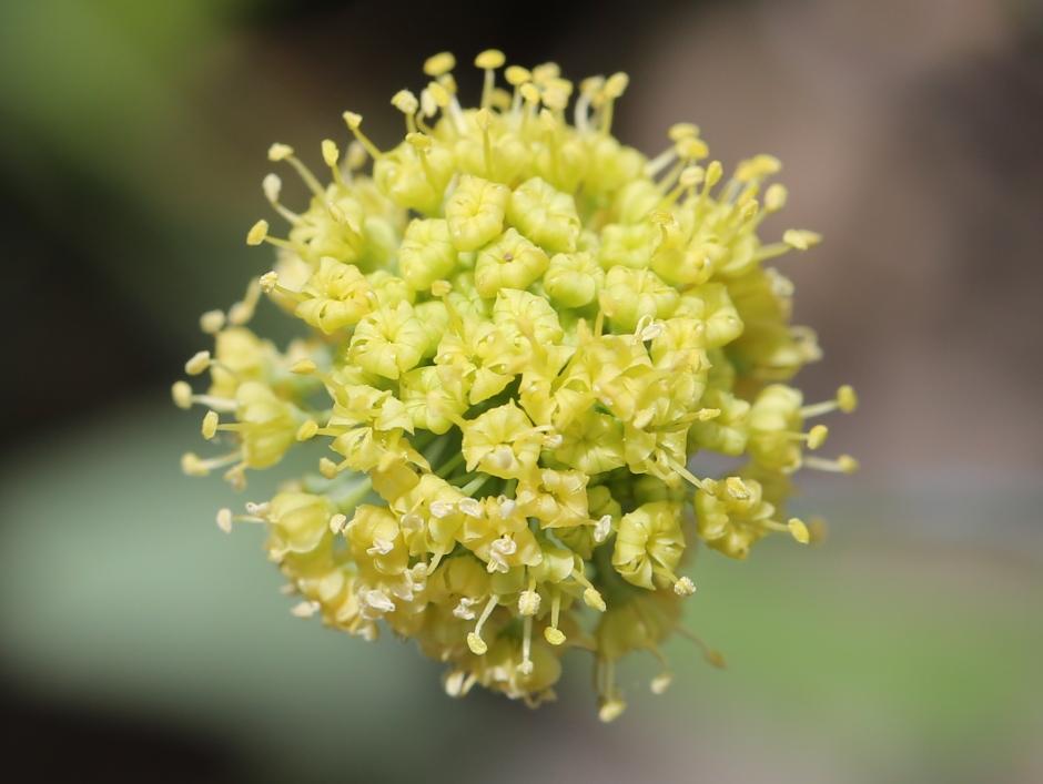 Lomatium nudicaule 52