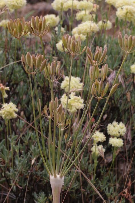 Lomatium nudicaule 57
