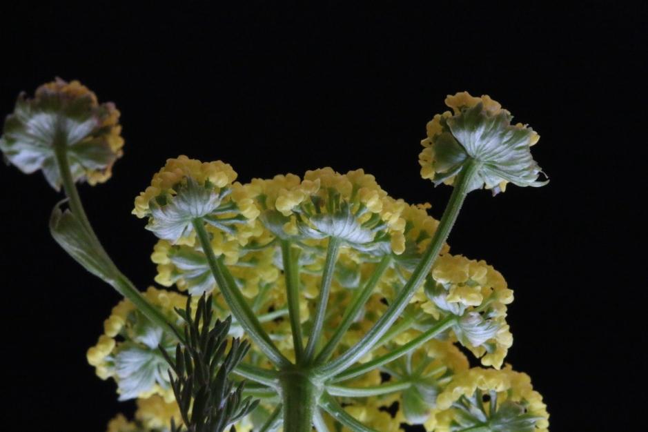 Lomatium utriculatum 51