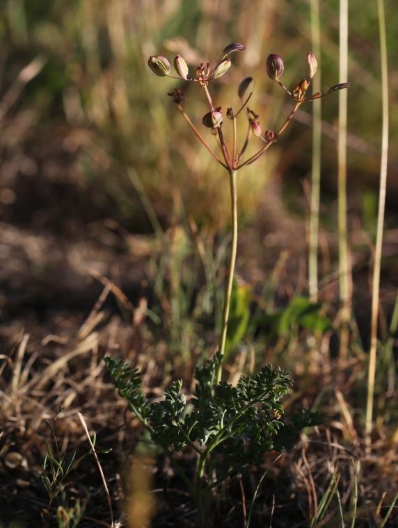 Lomatium canbyi 01