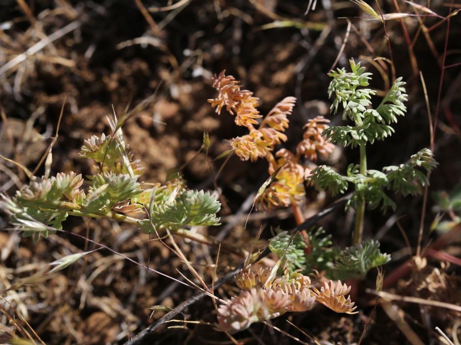 Lomatium canbyi 05
