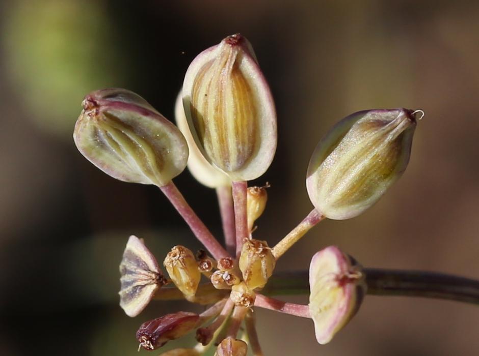 Lomatium canbyi 09