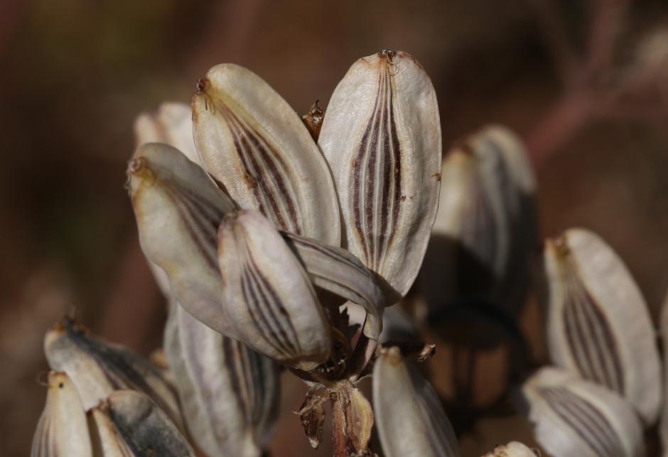 Lomatium cous 02