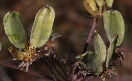 Lomatium cous 04