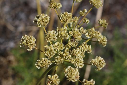 Lomatium dasycarpum 04