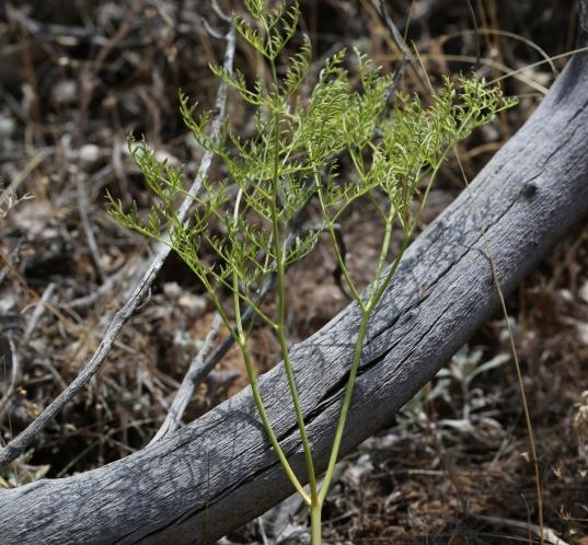 Lomatium dasycarpum 05