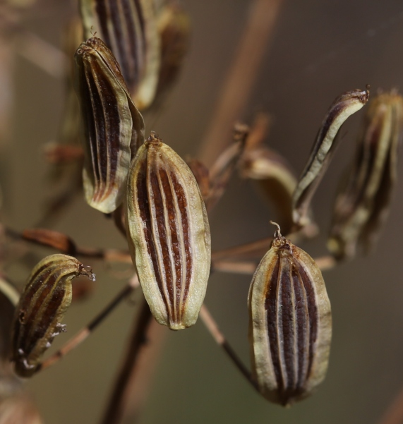 Lomatium grayi 03