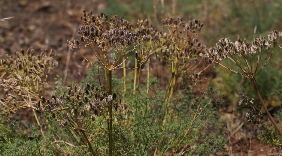 Lomatium grayi 15