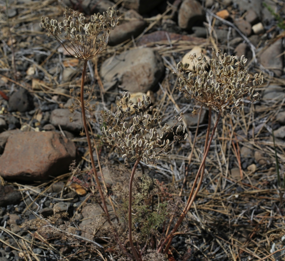 Lomatium laevigatum 03