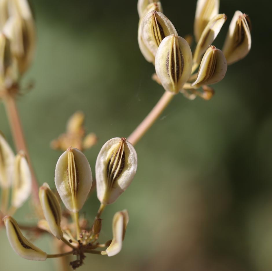 Lomatium peckianum 02