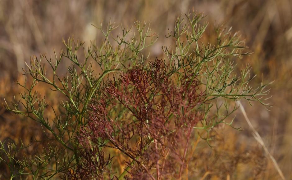 Lomatium suksdorfii 02