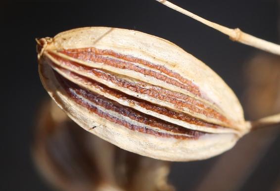 Lomatium suksdorfii 06