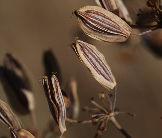 Lomatium suksdorfii 08