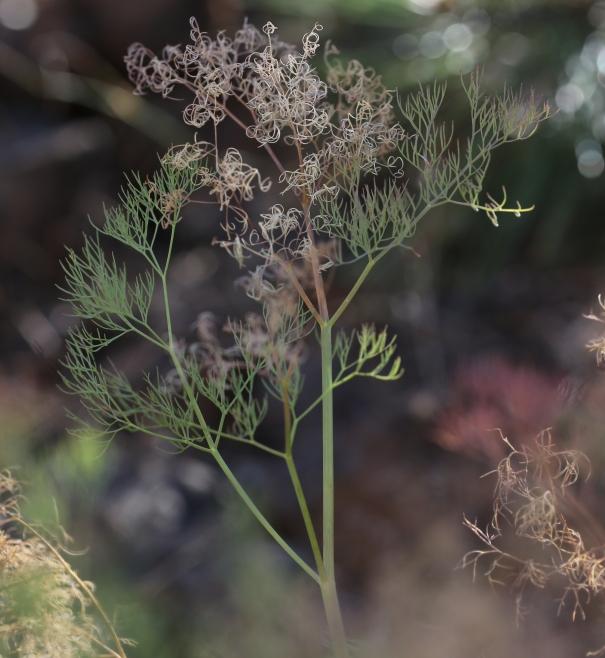 Lomatium suksdorfii 09