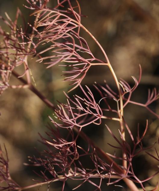 Lomatium suksdorfii 20